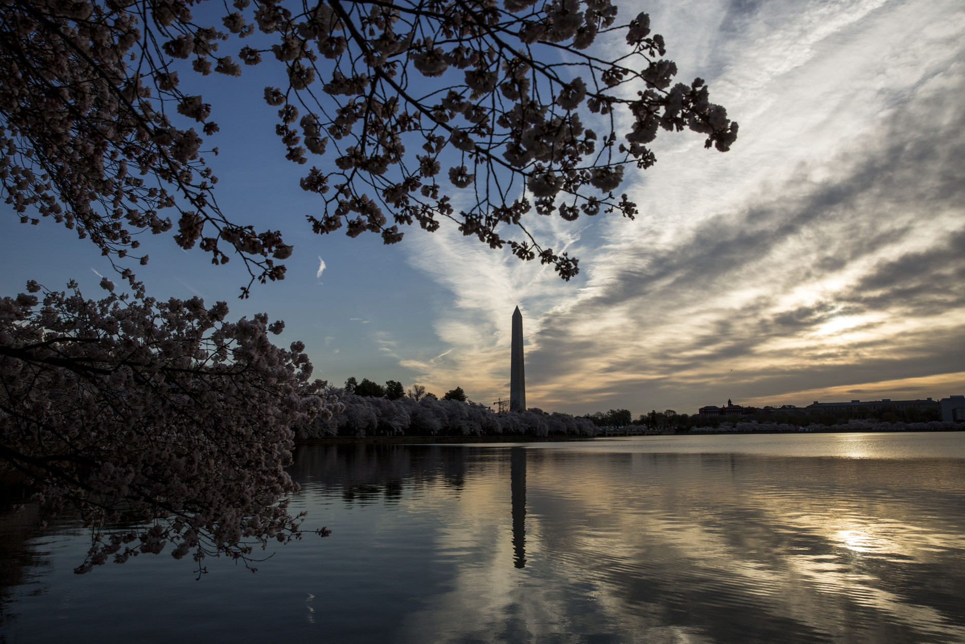 WASHINGTON, DC - APRIL 11: Cherry blossoms along the Tidal Basin, April 11, 2015 in Washington, DC.  (Drew Angerer/Getty Images)