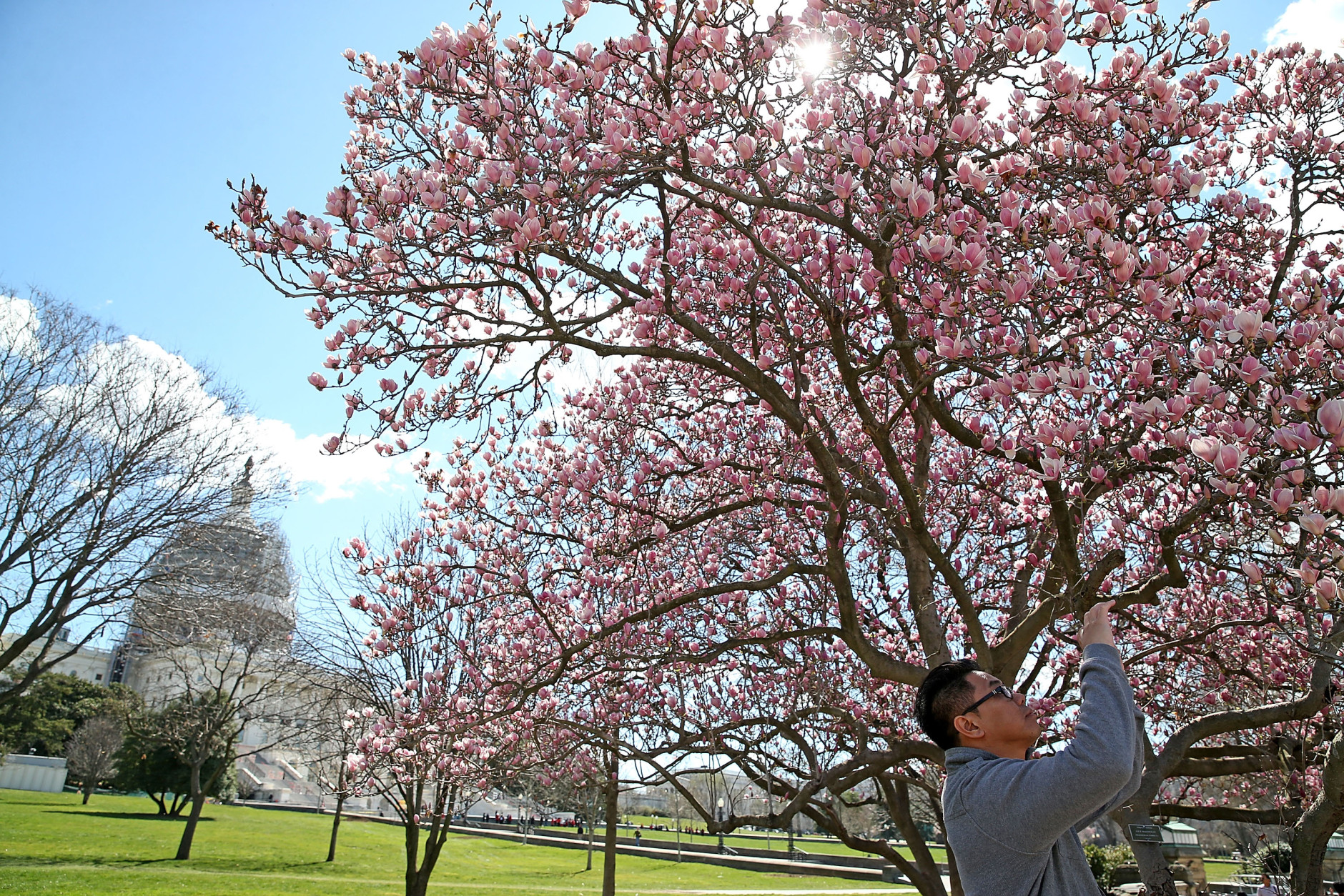 A tourist takes a picture of a blooming Magnolia tree on the grounds of the U.S. Capitol on March 18, 2016 in Washington, D.C. (Photo by Mark Wilson/Getty Images)