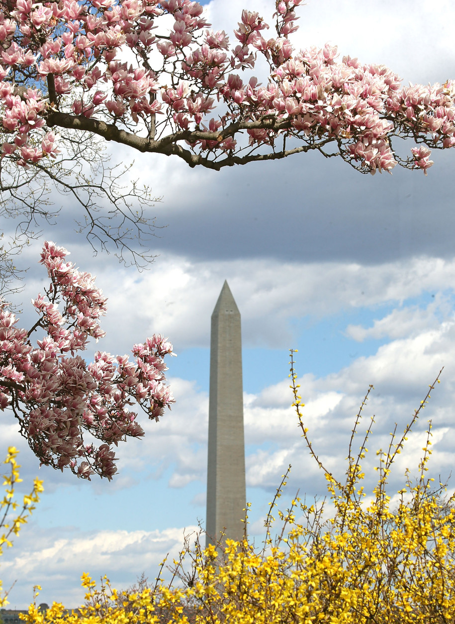The Washington Monument can be seen through Magnolia trees that are blooming near the Jefferson Memorial on March 18, 2016 in Washington, D.C.  (Photo by Mark Wilson/Getty Images)