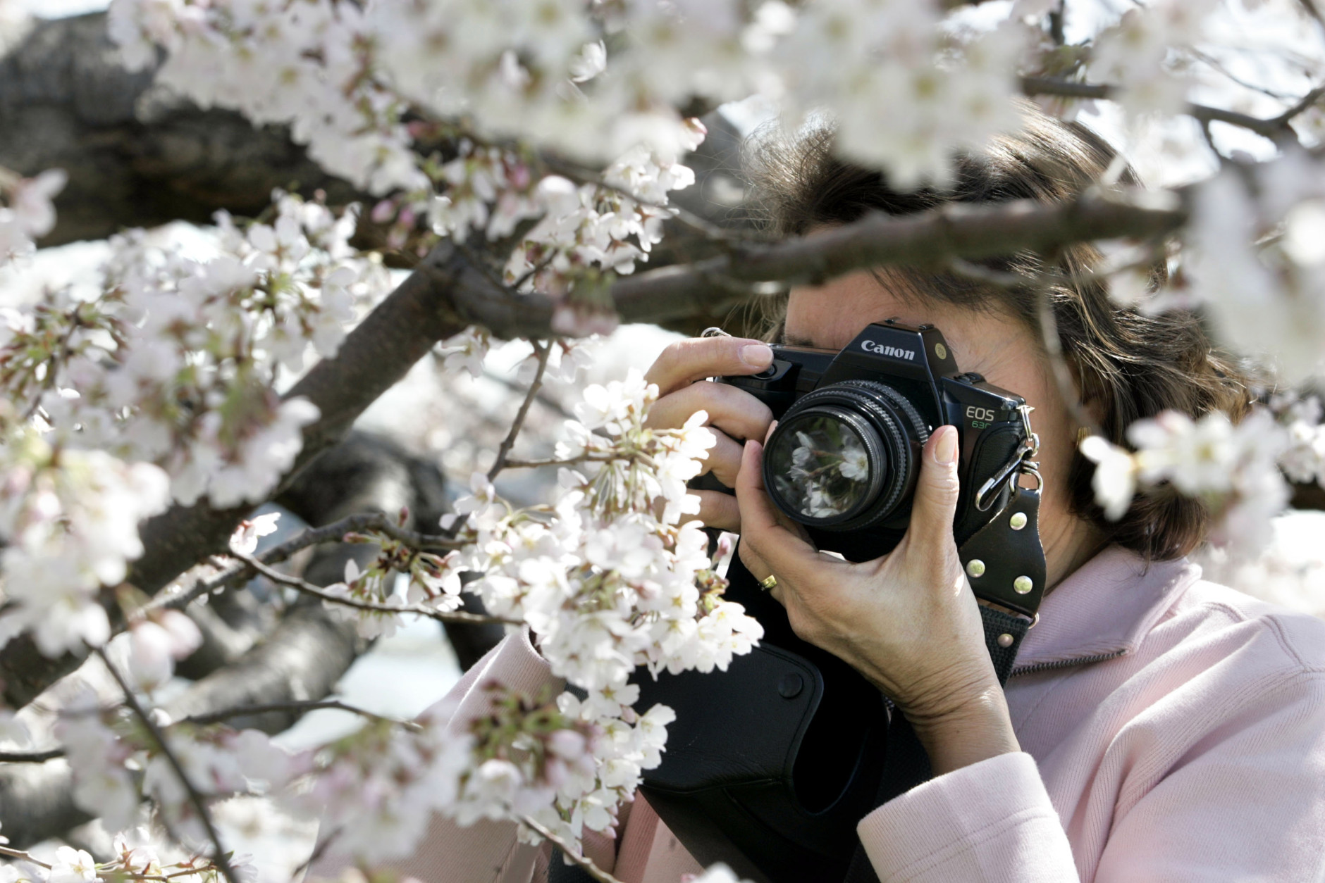 WASHINGTON - APRIL 5: Rosario Ponte, of Alexandria, Virginia photographs the cherry tree blossoms that circle the Tidal Basin as the trees began to bloom April 5, 2005 in Washington. The National Cherry Blossom Festival -- a celebration to commemorate the 1912 gift of 3,000 Yoshino cherry trees from Japan -- will run until April 10. Originally from Venezuela, Ponte has been photographing the annual bloom for the past 30 years. She said it is her dream to be good enough to shoot photos for the National Geographic magazine. (Photo by Chip Somodevilla/Getty Images)