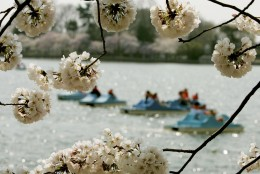 WASHINGTON - MARCH 31: People in a paddle boats pass by Cherry Blossom trees in the Tidal Basin March 31, 2006 in Washington, DC. The Cherry Blossoms are in full bloom and thousands of tourist are expected to visit the Tidal Basin this weekend.  (Photo by Mark Wilson/Getty Images)