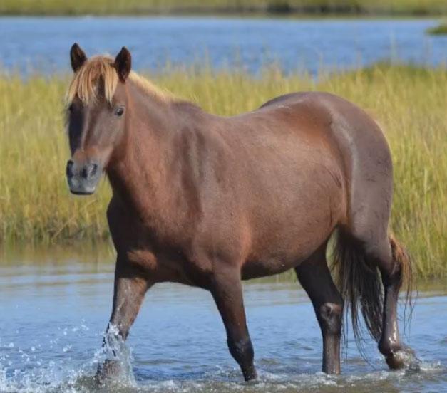 3 Assateague Island horses pregnant
