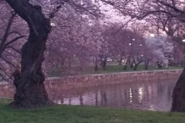 The cherry blossoms on the morning of March 23, 2016. (WTOP/Kathy Stewart)