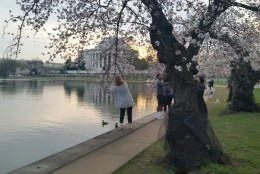 A visitor takes pictures of the cherry blossoms on the morning of March 23, 2016. (WTOP/Kathy Stewart)