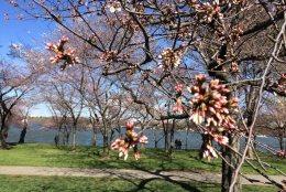 Cherry blossom trees on March 22, 2016. (WTOP/Nick Iannelli)