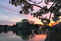 The cherry blossoms at sunrise. (Joy Waltzer Price)