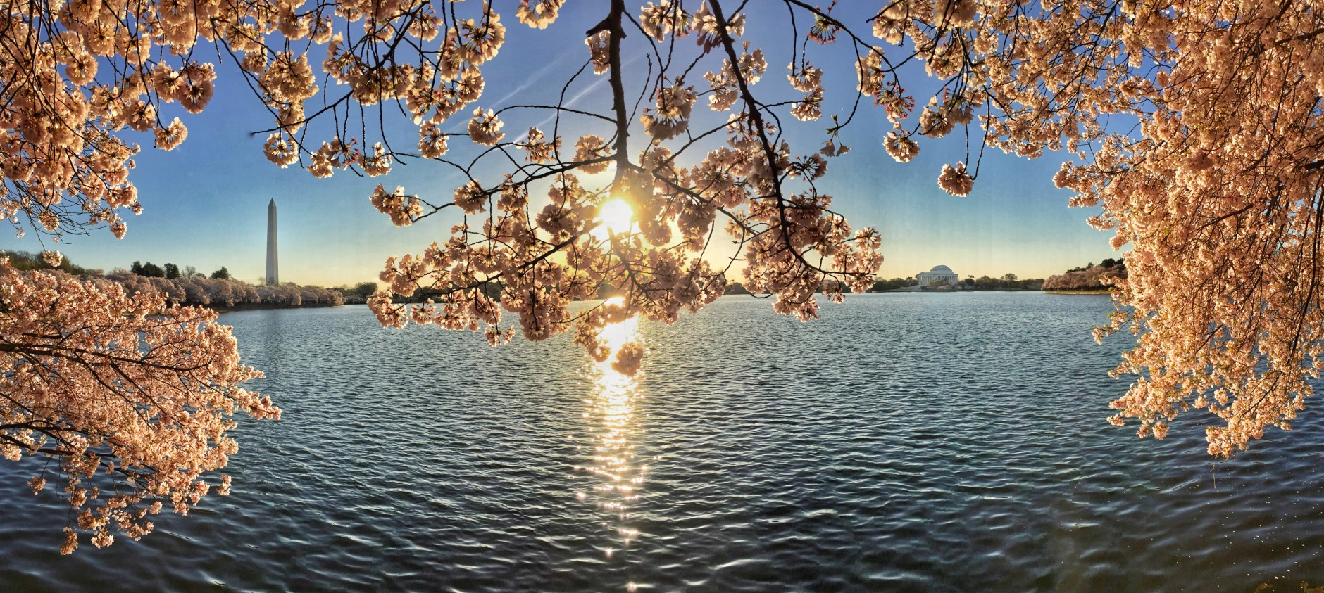 Sunrise over Cherry Blossoms at the Tidal Basin. (Sent via WTOP app by WTOP user)