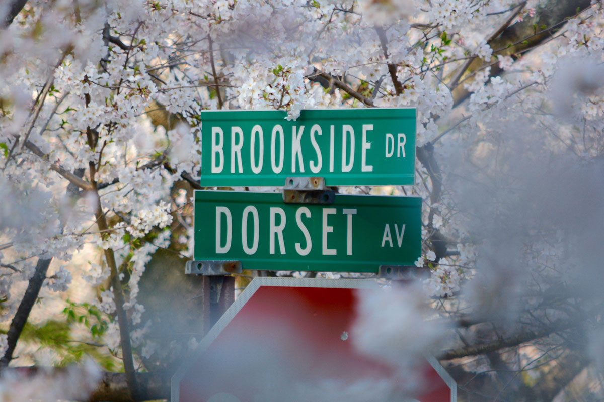 The Yoshino Cherry lined median strip of Brookside Drive is a must-see when the trees are in peak bloom. (WTOP/Dave Dildine)