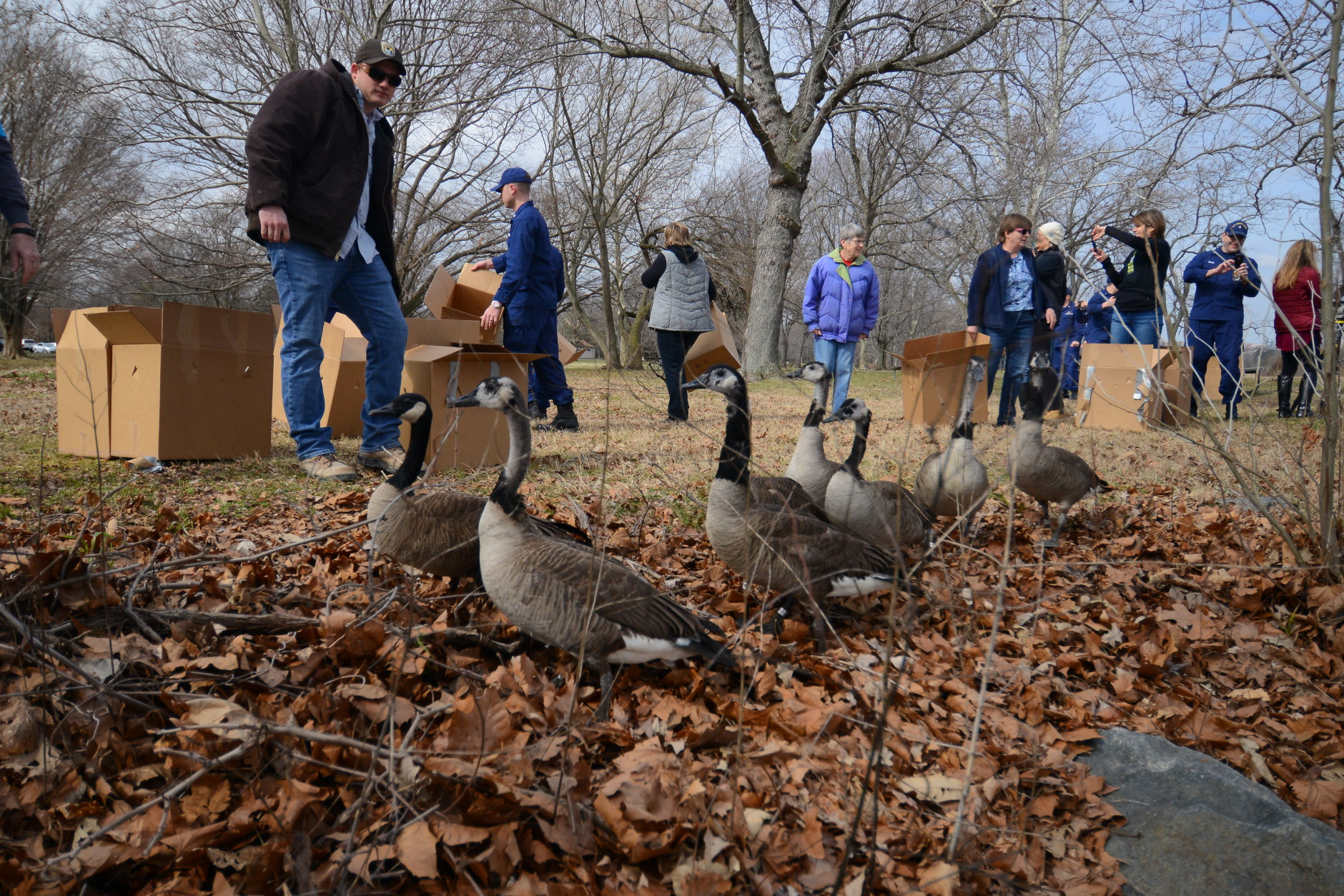 Feathers thrashed as the geese were released in Belle Haven, Virginia Monday. (WTOP/Kristi King)