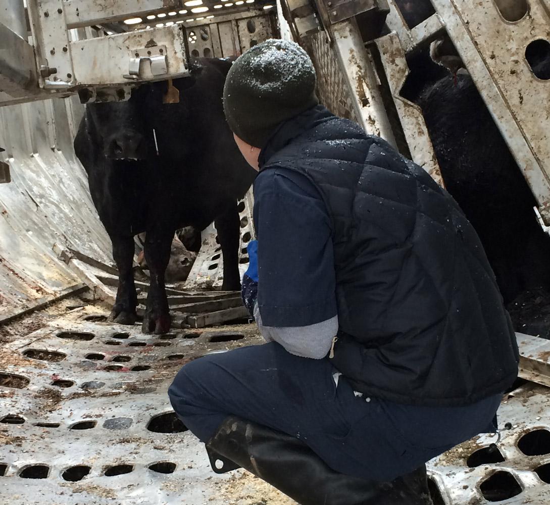Overturned tractor-trailer leaves cattle walking Va. highway