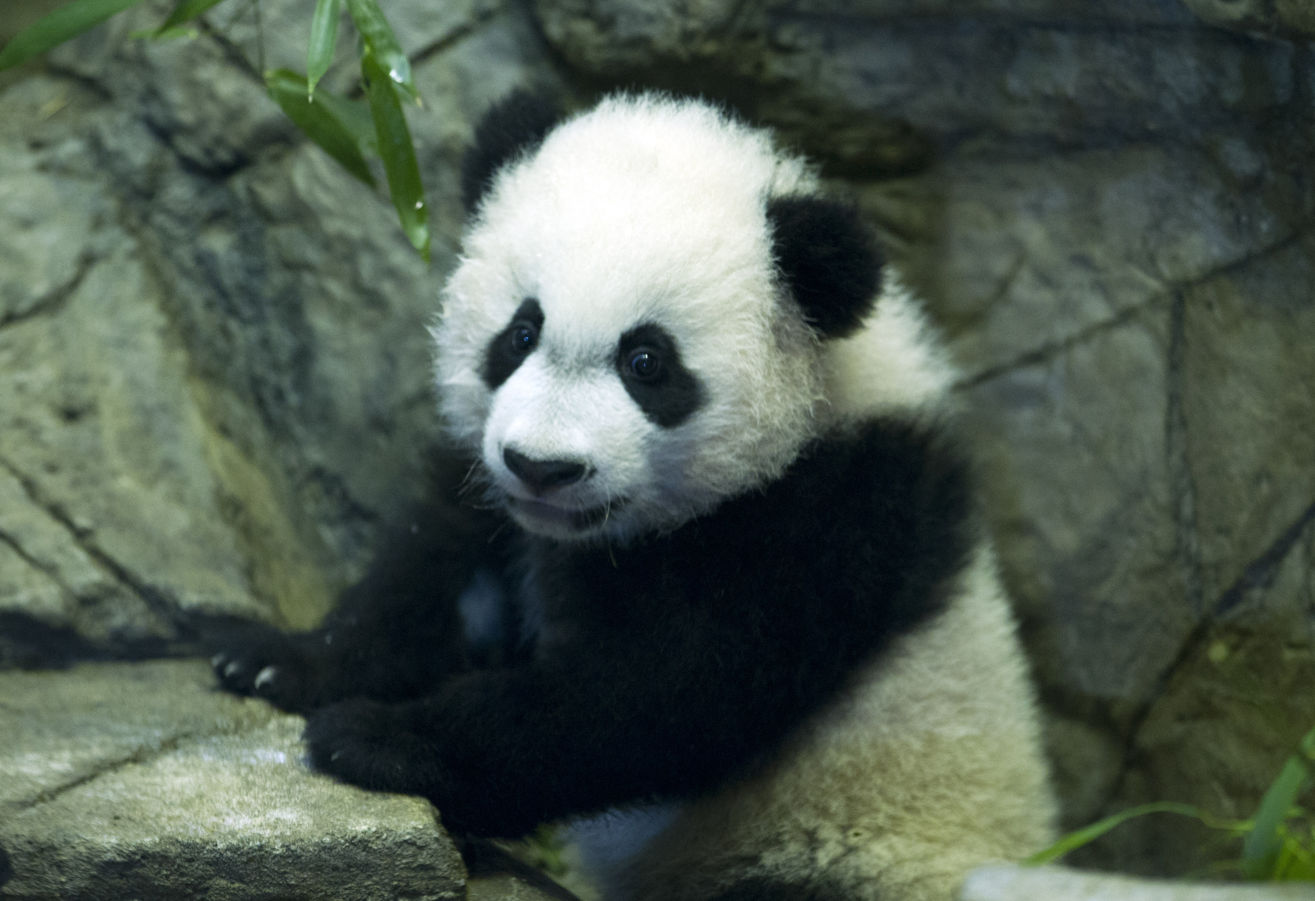 Bei Bei plays, the crowds keep coming to National Zoo