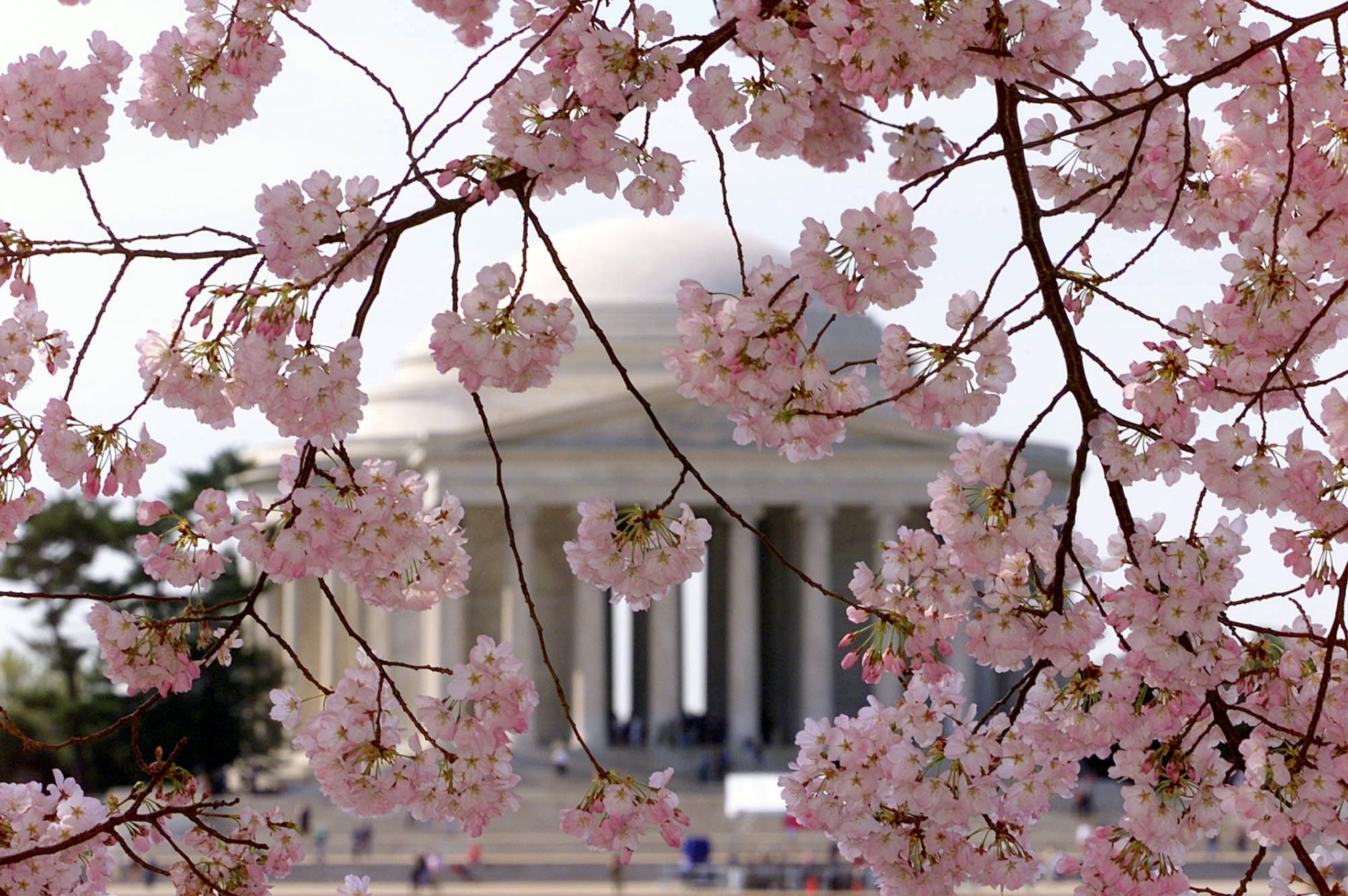 Park service: D.C. cherry blossoms at peak bloom