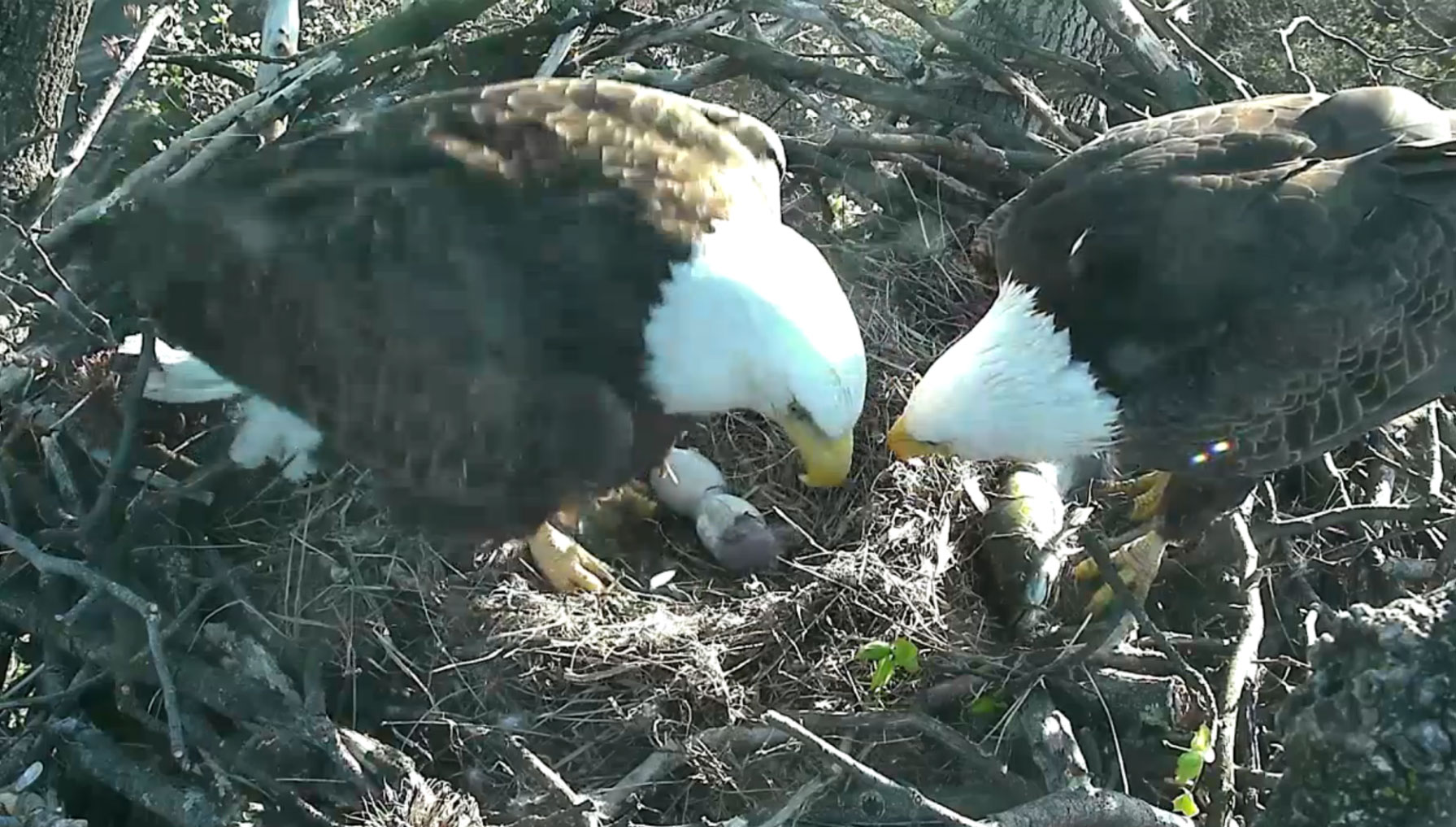 Oh babies! Second bald eagle hatches Sunday (Photos) | WTOP