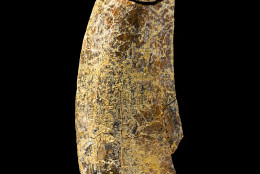 Tooth of the new tyrannosaur Timurlengia euotica, from the Late Cretaceous Period that was found in the Kyzylkum Desert, Uzbekistan. (Courtesy James Di Loreto, Smithsonian)