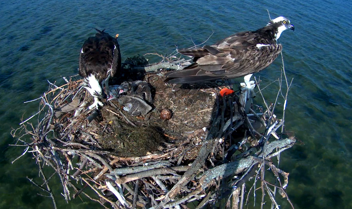 2 bird couples are stars of Md. webcam action
