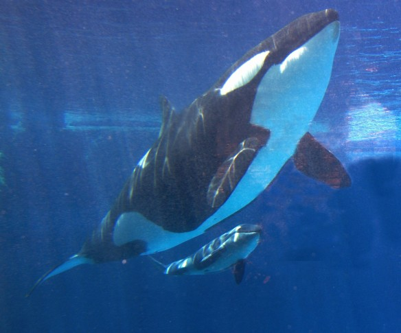 SeaWorld ends killer whale shows
