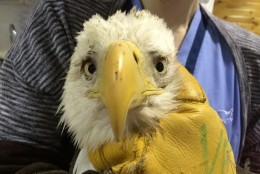 This eagle suffered from lead poisoning and subsequently passed away. (Courtesy  Wildlife Center Va)