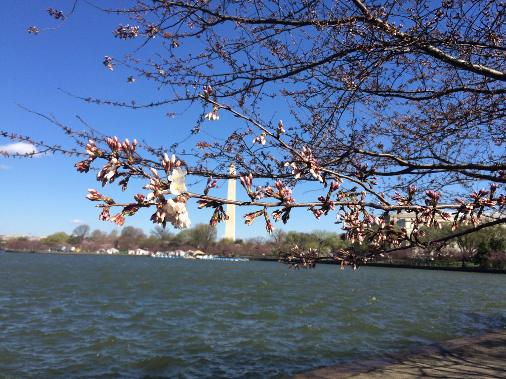 Chilly weather doesn't affect peak bloom dates