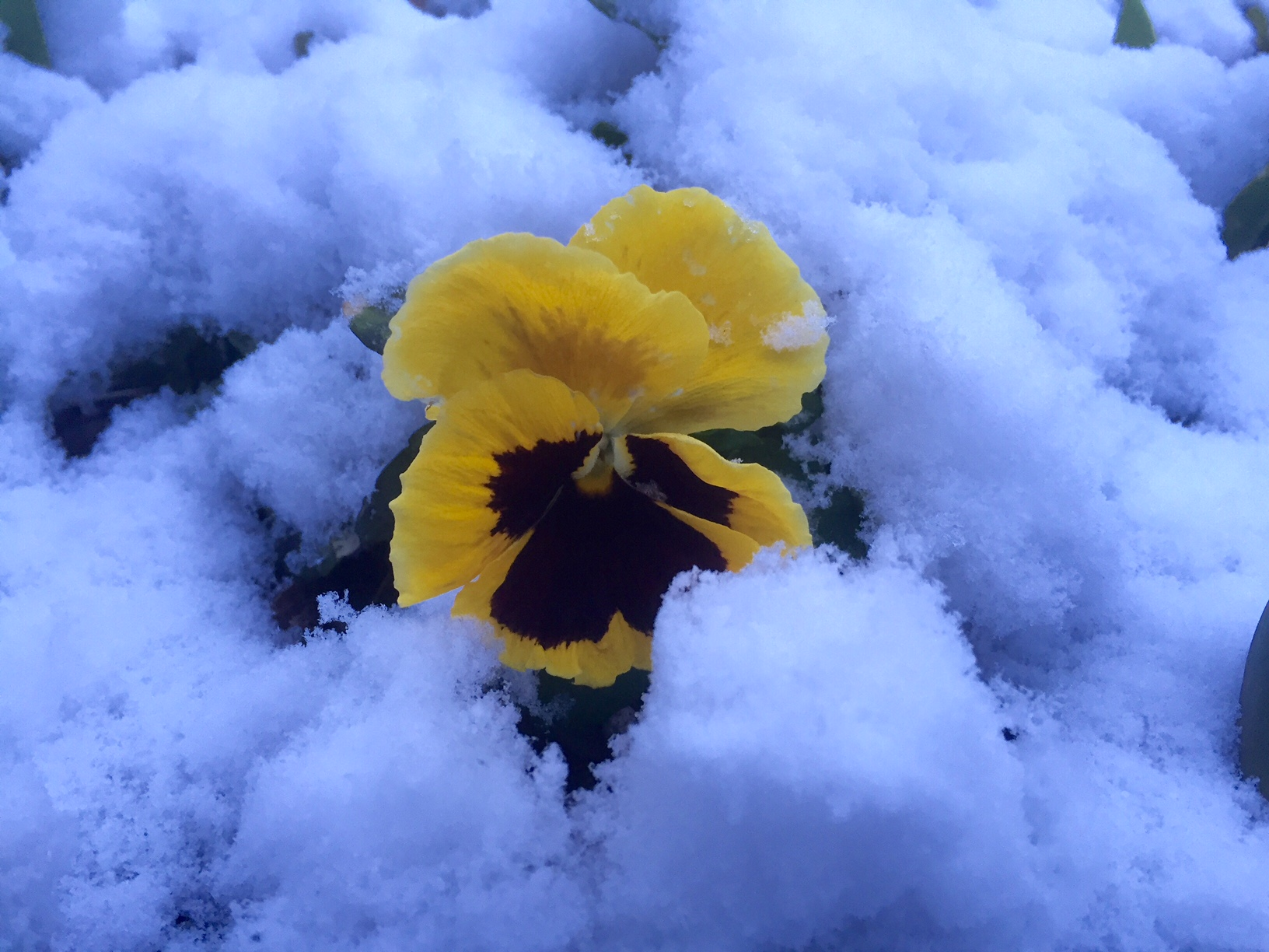 A pansy sticks out  from the snow. (WTOP/Dave Dildine)