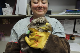 This eagle also suffered from lead toxicity and subsequently passed away. (Courtesy Wildlife Center of Virginia)
