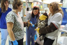 was found injured in Keswick, VA. The eagle was released in December 2015. (Courtesy Wildlife Center of Virginia)