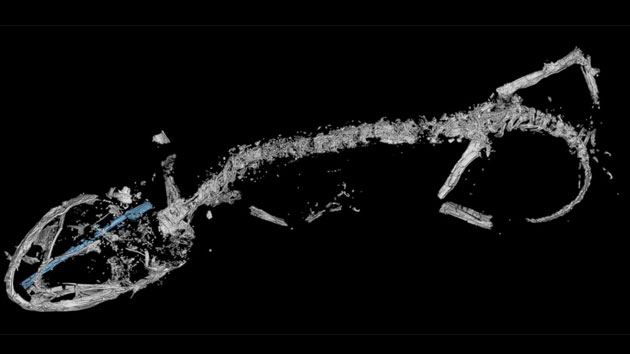 Lizard preserved in amber fossil is almost 100 million years old