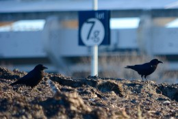 At RFK Stadium, Parking Lot 7 may have been closed to D.C. United fans headed to Tuesday's match against Querétaro F.C., but it was open to crows and seagulls. Scavenging birds have been patrolling the leftover mounds of trash and snow since the Blizzard of 2016. (WTOP/Dave Dildine)