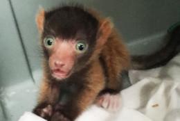 Baby Red-Ruffed Lemur