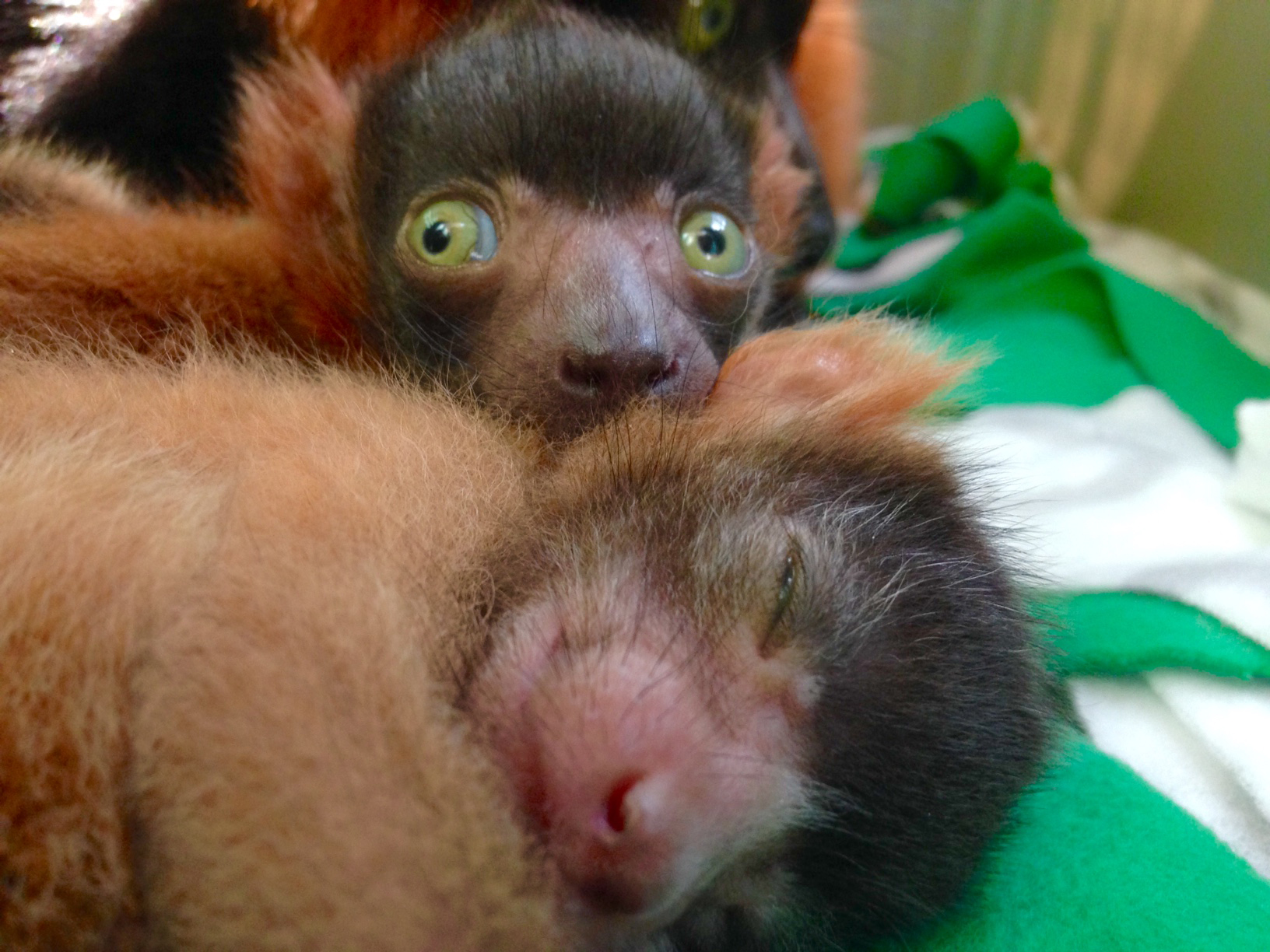 National Zoo celebrates birth of critically endangered lemurs