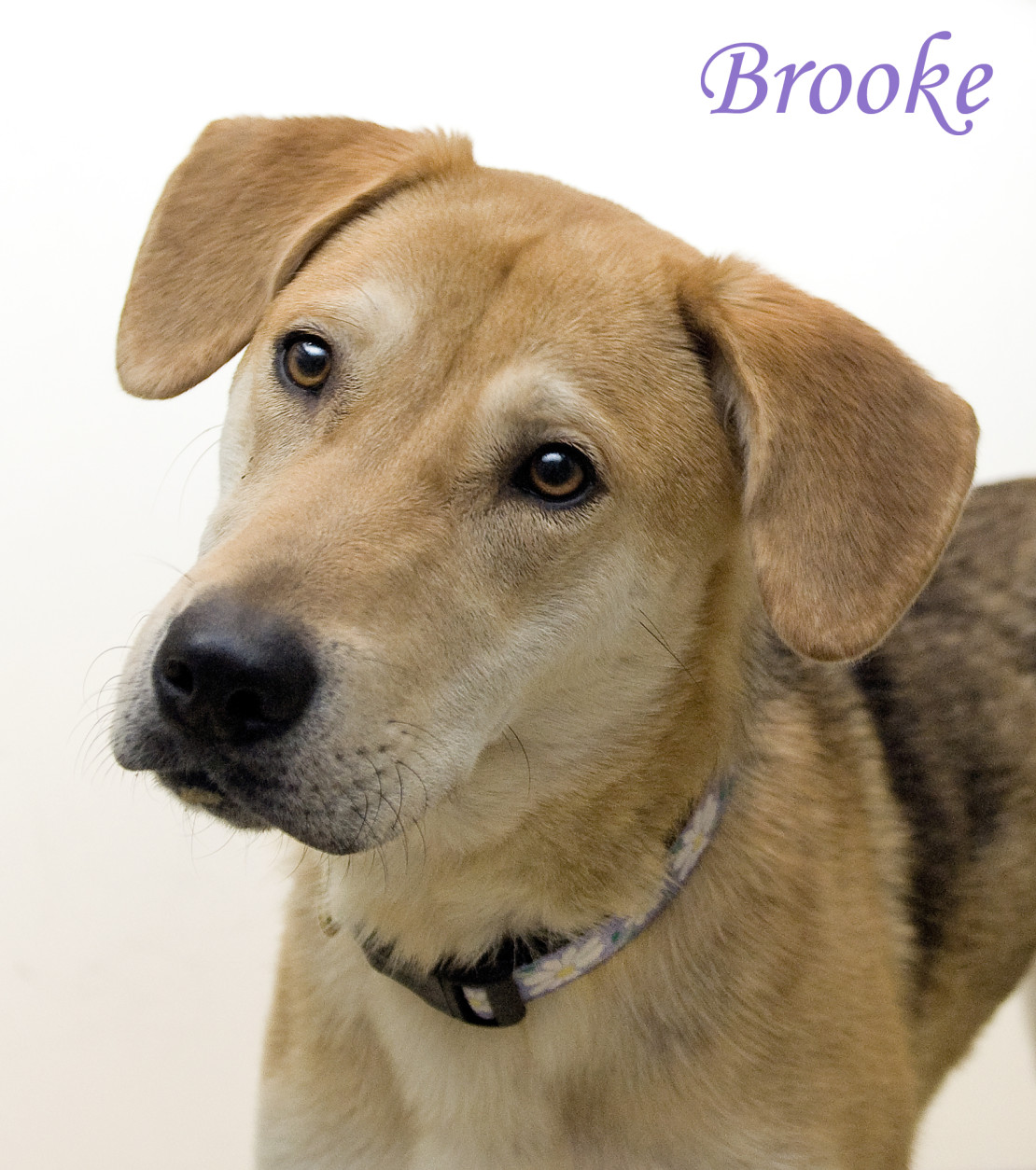 Pet of the Week: Brooke  For the week of April 25  Just one look at Brooke's sweet expression and you'll fall for this one-year-old Shepherd/retriever mix! And she's more than just a pretty face: This energetic girl has a zest for life that's contagious. Although her physical activities are being restricted at the moment as she undergoes treatment for heartworm, she's looking forward to the day when she can play and run around a large yard to her heart's content. Like most athletic types, Brooke also enjoys her downtime, preferably near -- or on -- her person. She'll push her head into your hands to encourage neck and ear scratching and will return the favor with a gentle lick. Given her exuberant personality, Brooke would be too much for young children but would love a family with adults, teenagers, and perhaps a canine companion. Could that be yours? Stop by the Oglethorpe Adoption Center of the Washington Humane Society/Washington Animal Rescue League today to meet Brooke and find out. The center is at 71 Oglethorpe St. in Northwest D.C.  Photo:  Washington Humane Society/Washington Animal Rescue League