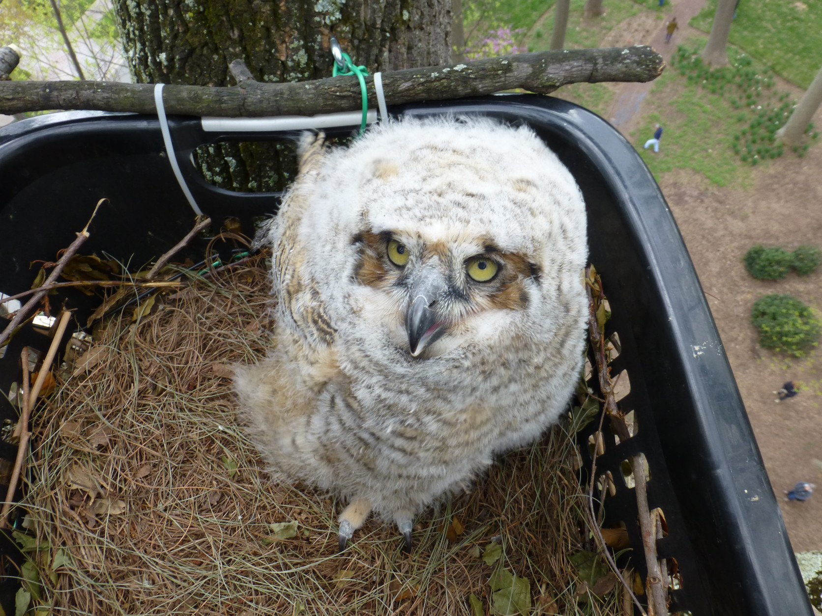 GREAT-HORNED-OWL-BABY-1672x1254 Boarding House Design Philippines on room design philippines, best house designs in the philippines, house designs pampanga philippines, bungalow design philippines, apartment design philippines, prefabricated home design philippines, building design philippines, police station design philippines, bed design philippines, condominium design philippines, simple modern house philippines, warehouse design philippines, dormitory design philippines, office design philippines, small houses in the philippines, architectural designs in the philippines, garage design philippines, house floor plan philippines, bar design philippines, townhouse design philippines,