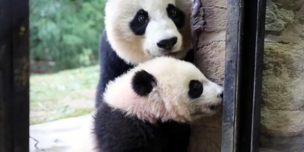 National Zoo giant panda cub Bei Bei growing, learning new behaviors
