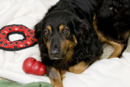 George may be a Bernese mountain dog mix, although only his mother knows for sure. (Washington Humane Society/Washington Animal Rescue League)