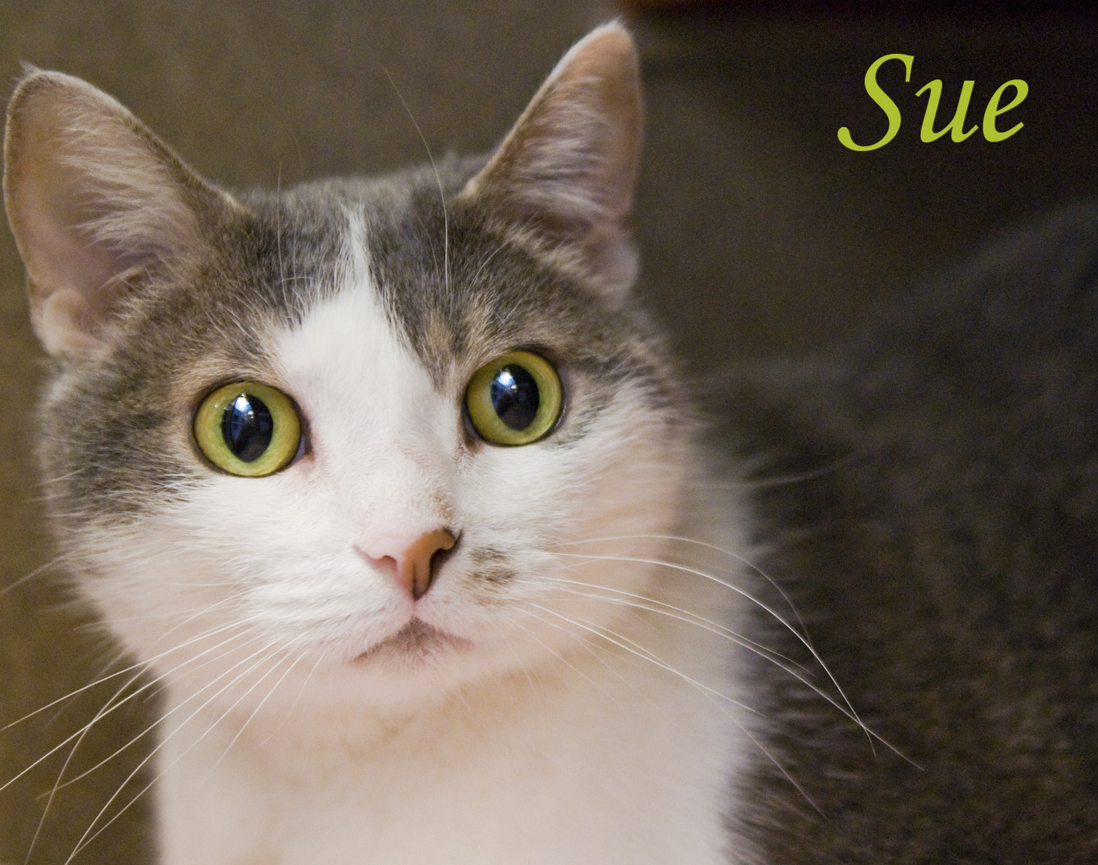 Pet of the Week: Sue  For the week of April 25  Sweet, sad Sue is pining for her human companion, who passed away not long ago. After many years as a beloved feline friend, this 11-year-old girl is understandably finding shelter life stressful and confusing. She really needs a quiet home where she can spend her golden years in comfort and rediscover the joys of being someone's true love. We're betting she'll return the favor with years of affection and companionship. If you're interested in bringing joy to Sue's life, stop by the Oglethorpe Adoption Center of the Washington Humane Society/Washington Animal Rescue League, at 71 Oglethorpe St. in Northwest D.C.  Photo:  Washington Humane Society/Washington Animal Rescue League