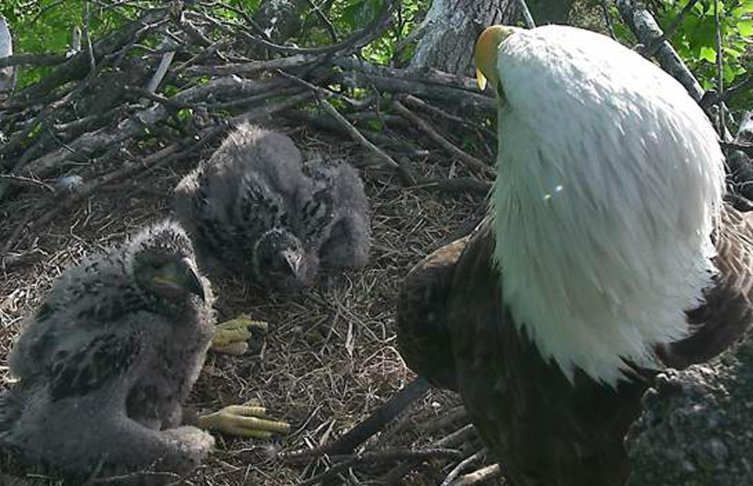Help name the National Arboretum eaglets