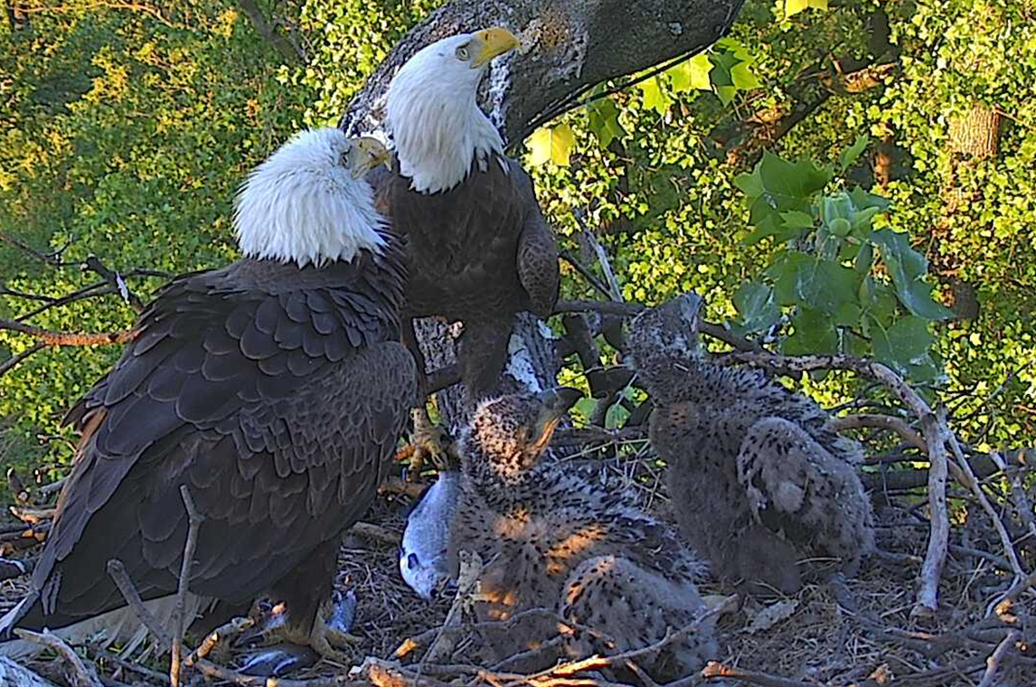 The public was heard: eaglets have been named