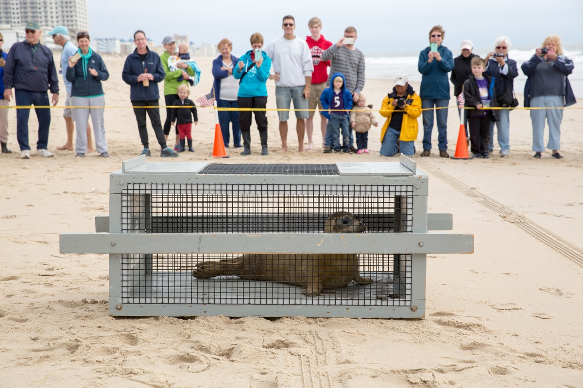 Megatron The Rehabilitated Seal Released Back Into Ocean