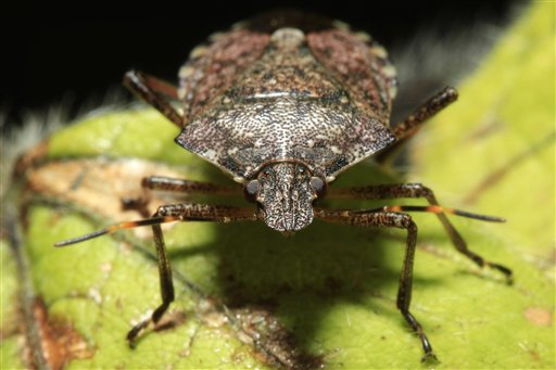 Finally, some good news about stink bugs