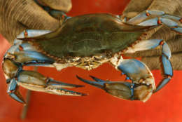 FILE — In this Monday, June 23, 2008 file photo, a Maryland blue crab is held by waterman Paul Kellam, of Ridge, Maryland. (AP Photo/Jacquelyn Martin, File)