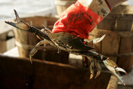 """CHESAPEAKE BEACH, MD - AUGUST 03:  Kevin Doane aboard the commercial crabbing boat """"Foxy Roxy"""" holds a Blue Crabs while crabbing on the Chesapeake Bay August 3, 2005 in Chesapeake Beach, Maryland. The Maryland Blue Crab has been in decline in recent years but crabber Bobby Abner of Abner's Crab House says this year the crabbing has been better than recent years.  (Photo by Mark Wilson/Getty Images)"""