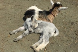 This little goat was so sleepy he just couldn't keep his head up. (WTOP/Michelle Basch)
