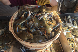 Customers have offered to pay now in order to pick crabs up on Memorial Day, but the ongoing scramble for live crabs makes that unworkable. (WTOP/John Aaron)