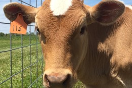 Photo of a Guernsey cow