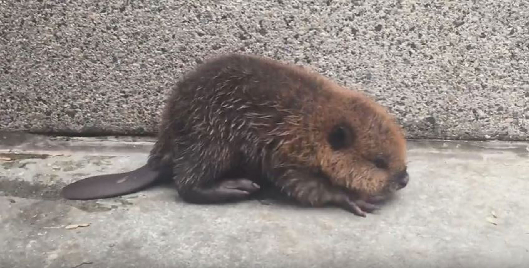D.C.-area residents help lost baby beaver at Metro station (Video)