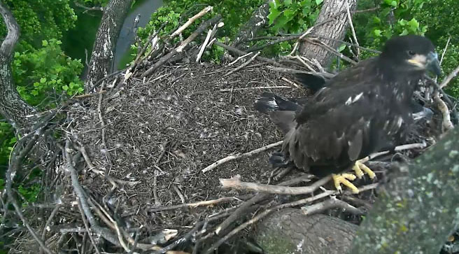 Eaglets will soon fly away from nest at National Arboretum