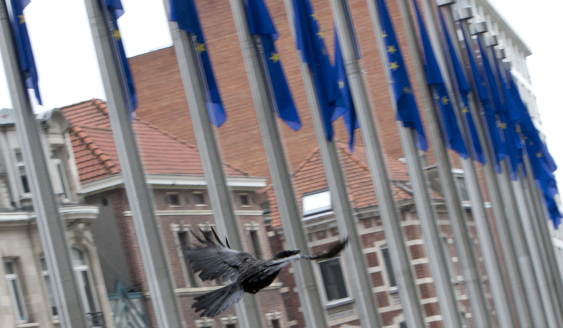 A crow flies by EU flags in front of EU headquarters in Brussels on Friday, June 24, 2016. Top European Union officials were hunkering down in Brussels Friday to try to work out what to do next after the shock decision by British voters to leave the 28-nation bloc. (AP Photo/Virginia Mayo)