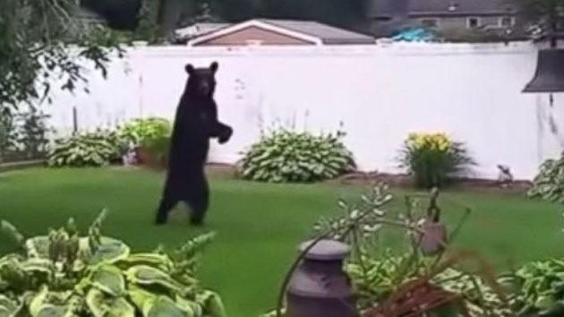 Bipedal Bear Spotted Taking A Stroll Through Neighborhood