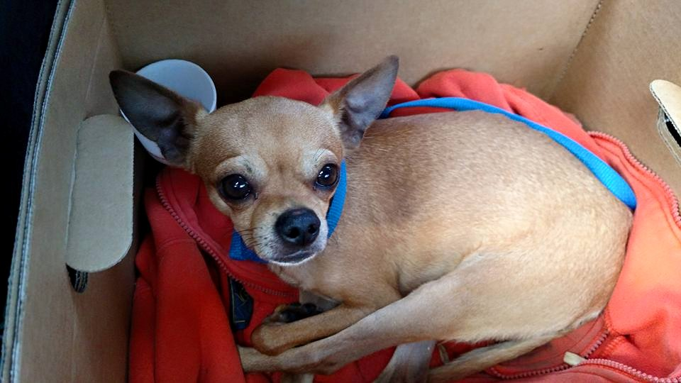 Chihuahua rescued from recycling truck (Photos)