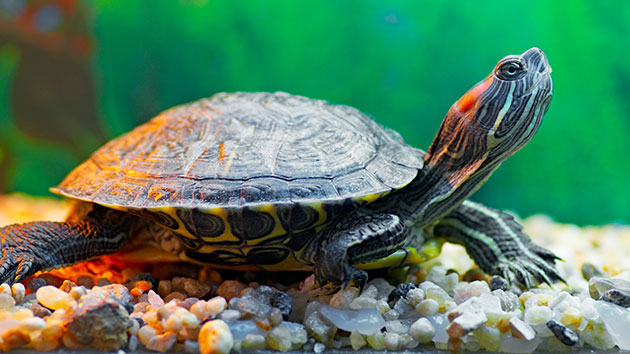 Pet turtles linked to salmonella outbreaks, CDC finds