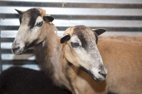 Police nab 3 sheep found wandering in downtown Frederick
